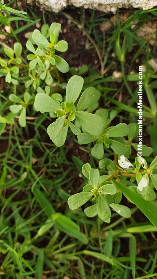 Fresh purslane or verdolagas growing in a yard